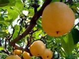 嫁接梨树苗实生苗供应、晚秋黄梨树苗批发低价出售