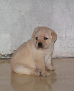 福州本地犬舍出售精品拉布拉多包纯包健康一年包换