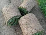 園林綠化草坪種植基地供應種植冷季型草坪高羊茅早熟禾混播草坪