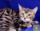 最棒的猫咪在这 他们都选这家 精品虎斑 有口皆碑