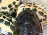 东莞出售11.10南石种龟