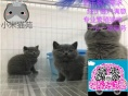 小米猫苑纯正英短优质品种,大包子脸蓝猫出售,疫苗已经做完