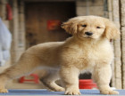 纯种健康金毛犬幼犬寻回犬金毛黄金猎犬 包健康签协议