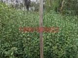 果园围墙果树嫁接枸橘枸桔构橘臭桔枳壳铁篱寨种子及其小苗包邮寄