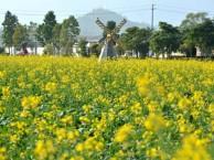 深圳哪里有樱花看:深圳较好看的千亩花海,错过了又得盼一年!