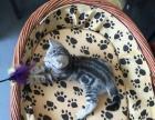 美短毛猫标斑弟弟妹妹1300 猫咪价格以标题为准