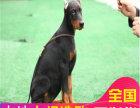 哪里有卖杜宾犬杜宾犬多少钱 支持全国发货
