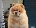 出售憨厚肉嘴松狮幼犬。签订健康协议包纯种一送用品