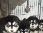 出售阿拉斯加红色和黑色幼犬