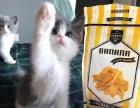 英短猫宠物猫 蓝白 折耳猫
