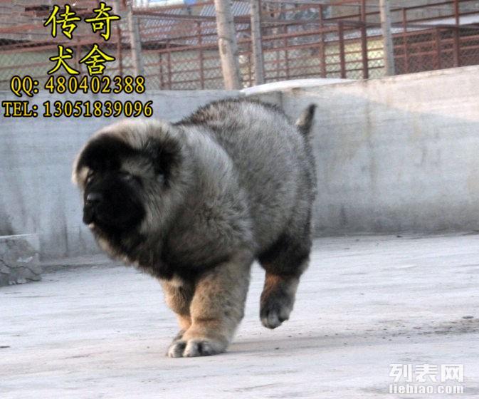 北京高加索犬舍 高加索价格 高加索图片
