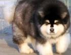 高品质巨型阿拉斯加幼犬待售红黑灰色均有保纯保健康