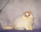 1宠物猫波斯猫纯种黄白色波斯猫幼猫宠物猫波斯猫