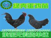 专业的贵妃鸡苗供应商推荐——广西绿壳蛋鸡苗