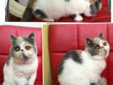 家养纯正双血统正版加菲猫 可视频 全国空运