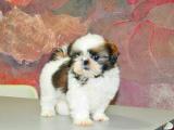 纯种CKU 西施犬 幼犬出售 可签协议包健康
