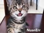 棕虎斑美国短毛猫