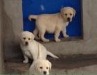 惠州哪里有卖拉布拉多犬,一般品相拉布多少钱,要健康的