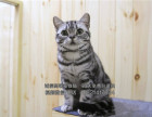 美短虎斑纯种活体小淘气血统家庭繁殖美国虎斑猫