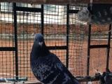 (南阳)常年出售参赛信鸽,幼鸽需预定,带环及足环证
