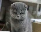 鑫鑫名猫,赛级英短渐层虎斑宝宝来袭,你还等吗。。