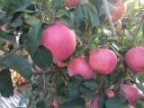 山头苹果采摘园