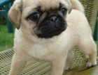 北京出售纯种巴哥幼犬哈巴狗小型犬小短腿巴哥宠物