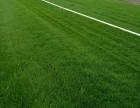 北京园林绿化公司草坪月季花竹子黄杨丹麦草批发零售运输铺种