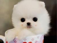 本地犬舍出售大眼睛純種博美幼犬 上海茶杯體博美多少錢