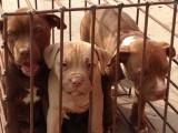 齐齐哈尔3个月纯血比特犬幼犬多少钱一只