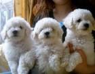 西安那里有比熊犬卖 西安比熊犬价格 西安比熊犬多少钱