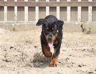 高端品质 可签订协议 罗威纳犬 包健康送用品
