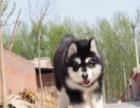 出售巨型阿拉斯加雪橇犬 大骨架、毛量足、有血统认证