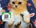 济南在哪里卖健康纯种宠物猫 济南哪里出售蓝猫