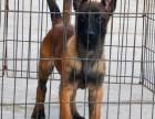 出售马犬幼犬,品相好性格佳,欢迎来访选购