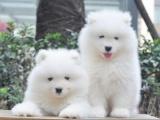 绵阳 纯种萨摩耶幼犬 疫苗齐全出售中 可签协议健康保障