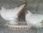 山东枣庄大型 元宝鸽种鸽肉鸽观赏鸽养殖场