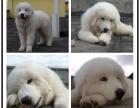 本地哪里宠物繁殖基地上门挑选 大白熊犬