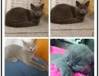 猫舍直销 精品包子脸蓝猫宝宝出售 品质优秀疫苗齐全