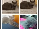 家养繁殖英短立耳猫银渐层蓝猫包健康纯种包售后