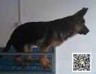 高品质德国牧羊犬 专业基地 健康签协议 可送货上门