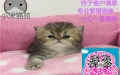 小米猫苑出售金吉拉可送货签协议公母都有多窝