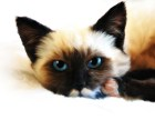 来自泰国的精品暹罗猫 活泼可爱 黏人 纯种挖煤工等