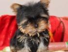 哪里买约克夏 纯种约克夏多少钱 狗场直销幼犬约克夏