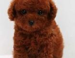 泰迪犬 三个月 驱虫疫苗已做完 购买签订活体协议