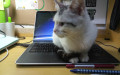 私养小母猫一只,长相酷似起司猫