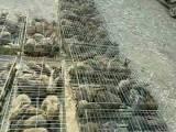 推荐农村养殖兔子项目,山东大型兔业出售:纯种獭兔 肉兔及野兔