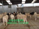 供应山东哪的杜泊羊多 杜寒杂交羊 黑头杜泊羊 山东养羊场