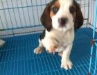 石家庄出售包健康纯种比格幼犬 当面检测犬瘟细小