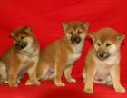 西安长期出售高端柴犬 特价直销 健康质保 欢迎选购